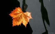 Floating Leaf in Black Ice