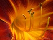 Center- Crimson Lily #2