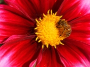 Center - Dahlia with bee