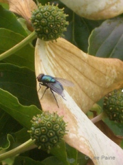 Fly on a Petal #2