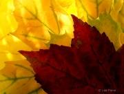 Global Warming, Back Lit Leaves