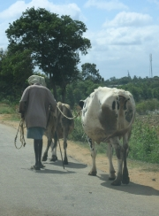 Man on Country Road with Cows