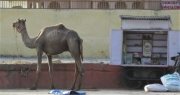 Skinny Camel near Sanjay Museum