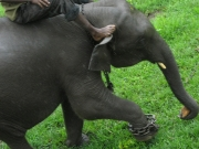 Training a Young Elephant to Make a Turn