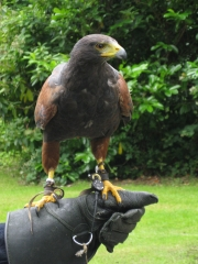 Ashford Castle - My Falconry Lesson