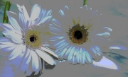 Daisies, Vanishing