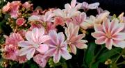 Lewisla, Blooming