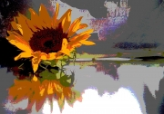 Sunflower, Reflecting on a Pond