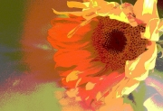 Sunflower, Spilling Color
