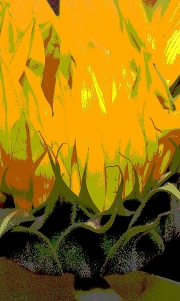 Sunflower, Up in Flames